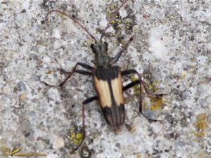 Bonte ribbelboktor - Rhagium bifasciatum