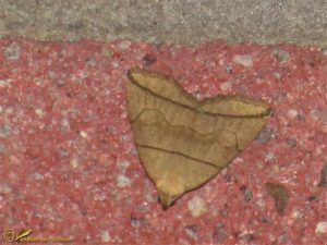 Boogsnuituil - Herminia grisealis
