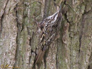 Boomkruiper – Certhia brachydactyla