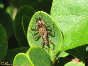Boomsikkelwants - Himacerus apterus