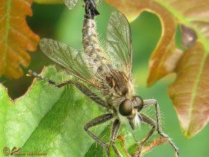 Borstelroofvlieg – Dysmachus trigonus ♂️ ♀️