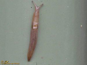 Bos-aardslak - Lehmannia marginata