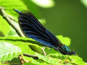 Bosbeekjuffer – Calopteryx virgo ♂️