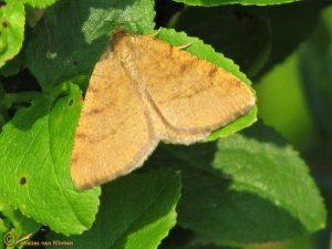 Bosbesbruintje - Macaria brunneata