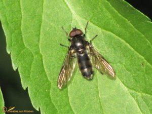 Bosgitje - Cheilosia variabilis