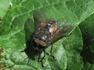 Bosknobbeldaas – Hybomitra bimaculata