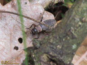 Boskrekel - Nemobius sylvestris