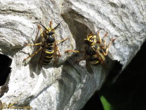 Boswesp - Dolichovespula sylvestris