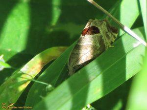 Bramenbladroller - Notocelia uddmanniana