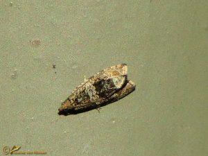 Brandnetelbladroller - Celypha lacunana