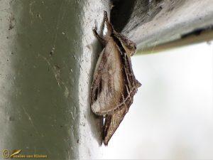 Brandvlerkvlinder - Pheosia tremula