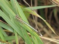 Breedscheenjuffers (Platycnemididae)