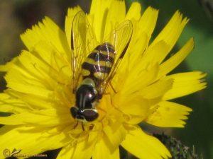 Bretelwimperzweefvlieg - Dasysyrphus albostriatus