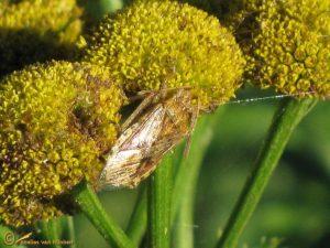 Brilglasvleugelwants - Stictopleurus abutilon