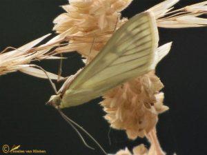 Bruidsmot - Sitochroa palealis