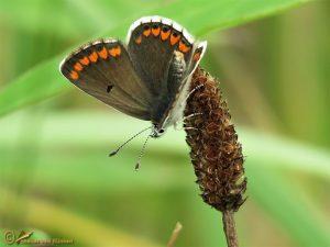 Bruin blauwtje – Aricia agestis