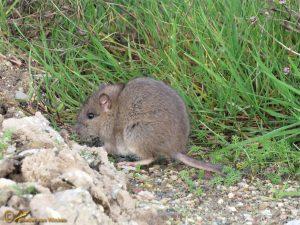 Bruine Rat - Rattus norvegicus