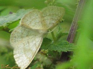Bruine grijsbandspanner - Cabera exanthemata