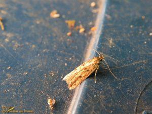 Bruine huismot - Hofmannophila pseudospretella