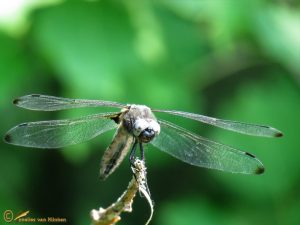 Bruine korenbout – Libellula fulva
