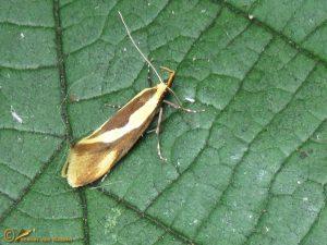 Bruine molmboorder - Harpella forficella