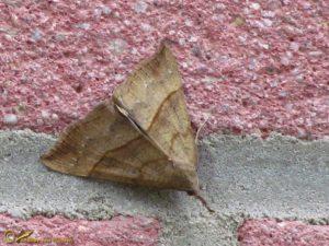 Bruine snuituil - Hypena proboscidalis