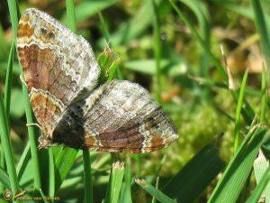 Bruine vierbandspanner – Xanthorhoe spadicearia