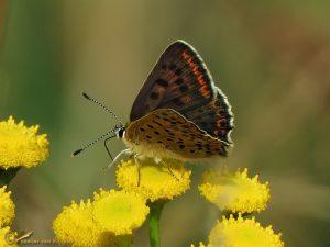 Bruine vuurvlinder - Lycaena tityrus