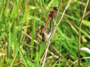 Bruinrode heidelibel – Sympetrum striolatum ♂️♀️