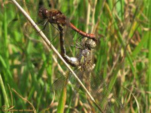 Bruinrode heidelibel - Sympetrum striolatum ♂️♀️