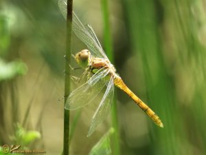 Bruinrode heidelibel - Sympetrum striolatum ♂️