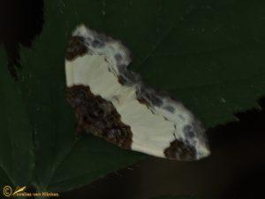 Brummelspanner - Mesoleuca albicillata