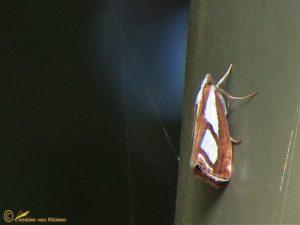 Catoptria permutatellus - osthelderi