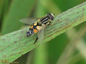 Citroenpendelvlieg - Helophilus trivittatus ♂️