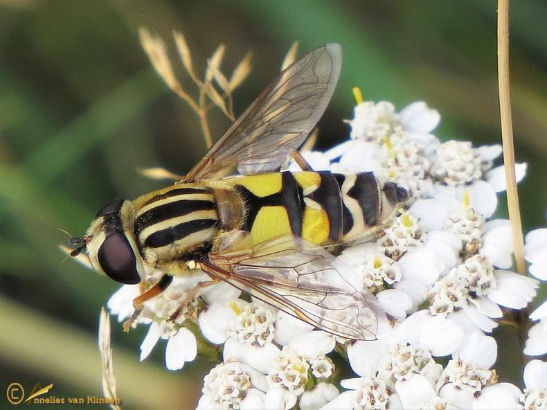 Citroenpendelvlieg - Helophilus trivittatus