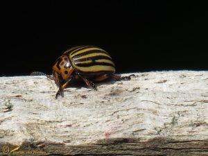 Coloradokever - Leptinotarsa decemlineata