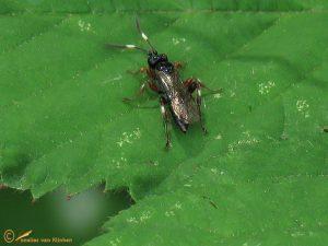 Cratichneumon culex