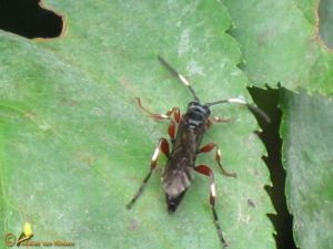 Cratichneumon spec.