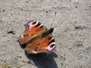 Dagpauwoog - Aglais io