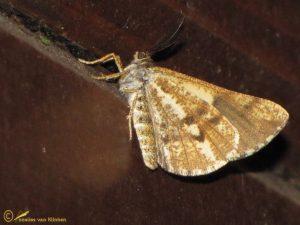 Dennenspanner - Bupalus piniaria