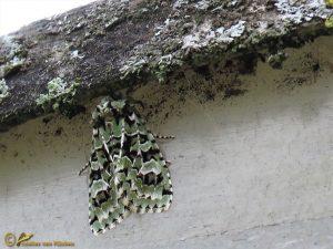 Diana-uil - Griposia aprilina