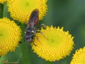 Dikkopbloedbij - Sphecodes monilicornis