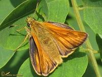 Dikkopjes (Hesperiidae)