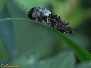 Donkere marmeruil - Deltote pygarga