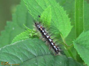 Donsvlinder - Euproctis similis