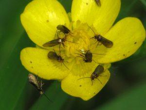 Dotterbloemoermot - Micropterix calthella