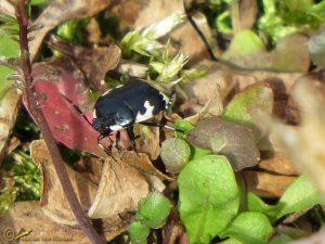 Dovenetelgraafwants - Tritomegas bicolor