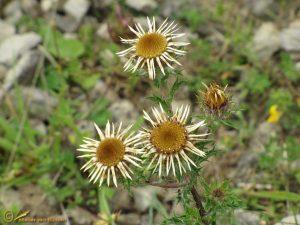 Driedistel - Carlina vulgaris