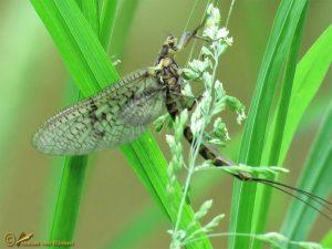 Driehoekeendagsvlieg - Ephemera vulgata