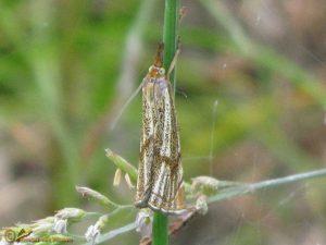 Duingrasmot - Thisanotia chrysonuchella